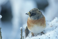 Brambling, Fringilla montifringilla (Ian Mc Farlane) Tags: nature finches birdlife brambling