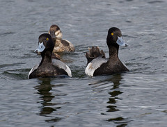 And The Race Is On (ruthpphoto) Tags: nature birds wildlife avian ruddyduck scaups lesserscaups
