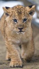 Cleo walking towards me (Tambako the Jaguar) Tags: winter wild portrait baby cold cute female cat walking zoo cub switzerland big nikon lion young coming approaching frauenfeld d4 barbary plttli