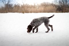 Pointer (DogAdore) Tags: winter dog pet pets snow cold ice dogs outside gun pointer hound birddog wirehaired pointing griffon gundog huntingdog