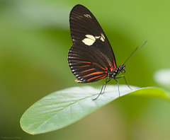 Heliconius doris viridis (Glenn van Windt) Tags: macro nature closeup butterfly insect natuur vlinder dorislongwing passiebloemvlinder lepidopterarhopalocera heliconiusdorisviridis sigma180mm128apomacrodghsm