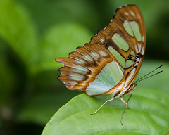 20160118140650.jpg (peggypryor68) Tags: potd botanicalgardensnaples january curved cy365 winter butterfly 1272016 teal brown 1182016 vacation 2016 dof florida insects 116