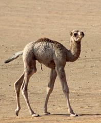 Youngster (gordontour) Tags: animals desert uae arabia environment camels rak unitedarabemirates rasalkhaimah