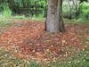 starr-120606-6872-Castanospermum_australe-flowers_on_ground-Kahanu_Gardens_Hana-Maui (Starr Environmental) Tags: castanospermumaustrale