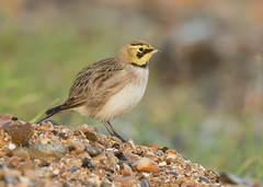 Shorelark - Eremophila alpestris (Gary Faulkner's wildlife photography) Tags: shorelark kentbirds