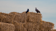 Harmony | The Eagle and The Scarecrow (anoopbrar) Tags: red bird nature birds animals eagle outdoor birding baldeagle harmony crow crows prairies raven birdphotography