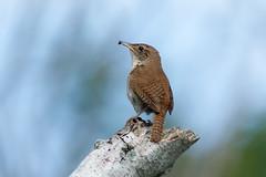 House wren (Phiddy1) Tags: ontario canada birds whitby wren housewren hallsroad