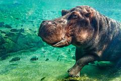 Big (Paco Herrero) Tags: valencia zoo hippo hipopotamo spreader bioparc