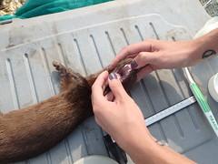 Collecting data (MyFWC Research) Tags: mammal florida wildlife conservation research mink population habitat fernandinabeach saltmarsh mustelid fwc cameratrap neovisonvison myfwc myfwccom