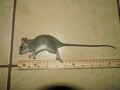rodentia_03 (Reinaldo Aguilar) Tags: raton rodentia