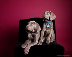 Armie and Zena (Jen St. Louis) Tags: pets ontario canada dogs studio puppies elmira weimaraner pawprints dogphotography petportrait petphotography dogportrait nikon70200mm28 nikond750 wwwpawprintsphotosca