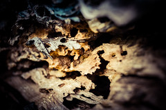 Fallen tree P1020574 (darrenhendley) Tags: wood tree texture bark trunk rotten decated
