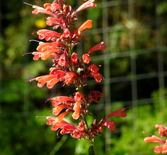 Agaste - a favorite with honeyeaters (Lesley A Butler) Tags: flowers summer garden australia victoria tolmie agastache