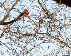 Northern Cardinal in Branches 2 (ralph miner) Tags: cardinal northerncardinal hawthornehill