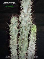Cereus peruvianus monstrose v. minor (Pic #2 stem growth detailed/close-up) (mattslandscape) Tags: cactus apple club giant v hedge minor var peruvian cereus monstrosa kakteen peruvianus repandus monstrose pilocereus atroviridis cadushi kayush subpilocereus russelianus grenadensis piptanthocereus remolinensis margaritensis