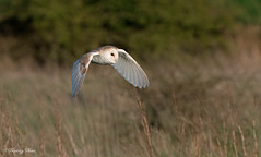 Barn Owls-Tyto alba. (PANDOOZY PHOTOS) Tags: uk winter wild nature birds wildlife hunting flight raptor owl gb prey behavior habitat owls barnowl birdofprey tytoalba strigiformes barnowls enviroment behaviour hunts tytonidae