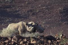 (tedjohnjacobs) Tags: africa namibia blackrhino