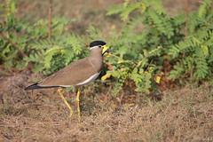 Vanneau de Malabar (gilbert.calatayud) Tags: de srilanka malabar vanellus malabaricus vanneau charadriids