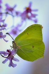 brimstone butterfly (epioxi) Tags: macro butterfly schmetterling macrophotography zitronenfalter brimstonebutterfly tagfalter epioxi