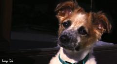 IMG_0119 (.lory.) Tags: dog pets animals cane canon puppy bianco animali arancione canon400drebelxti