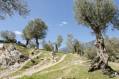 Entdeckungstour auf Mallorca (6) (Schwubb) Tags: holiday nature way landscape spring nikon warm urlaub natur warmth hike landschaft mallorca wandern weg frhling balearen wanderung olivenbume pathy wanderurlaub d7000