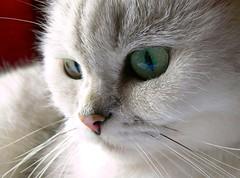 Yanis (KerKaya) Tags: portrait white cute green love look cat silver eyes sweet kitty whiskers silvershaded kerkaya