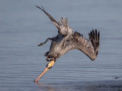 Brown Pelican feeding (gordon mills) Tags: brown bird birds flying florida diving pelican bif 2016 occidentalis pelecanus