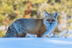 In The Shadows (LeAnn Yeates2011) Tags: winter snow wildlife canine fox mating moran foxes redfox grandtetonnationalpark breedingseason