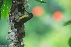 Purple-Rumped Sunbird ( ) (saifsohel) Tags: green birds canon nest environment ttl ju bangladesh redgreen gogreen canon400d birdsbangladesh