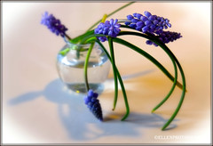 muscari armeniacum (Fay2603) Tags: flowers blue light white green nature water leaves spring shadows blossom background jahreszeiten indoor frame vase blau seaons frhling hyazinthe frhjahr ruby3 blackframe armenischetraubenhyazinthe