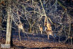 Wooded Deer (ransomtech) Tags: morning water sunrise pond woods deer rochester mendonponds mendonpondspark