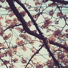 Hanami 2016: Sakura (Jon-F, themachine) Tags: flowers plants plant flower nature japan asian outdoors flora asia olympus  cherryblossom  sakura cherryblossoms nippon japo oriental  orient  fareast  aichi nihon hanami  omd oguchi   chubu japn    2016 m43  mft   mirrorless  chuubu   micro43 microfourthirds  ft xapn jonfu   mirrorlesscamera snapseed   em5ii em5markii  oguchicho