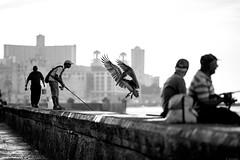 chicheri (Raquel lopez-chicheri) Tags: travel people fish bird fishing fisherman cuba documentary pelican malecn lahabana documental lahabanasederrumba lahabanaisfallingdown