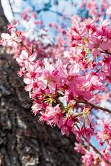 20160306-DSC_6141 (Kay's...) Tags: cherryblossom sakura   wuling wulingfarm
