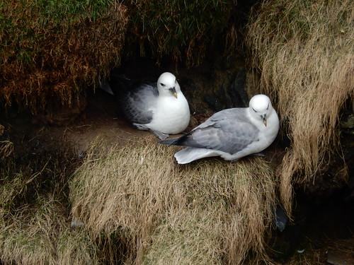 Two fulmars, 2016 Mar 19 -- photo 3