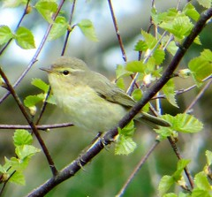 WOOD WARBLER (d p hughes) Tags: england colour nature birds outside spring cheshire wildlife crewe woodwarbler