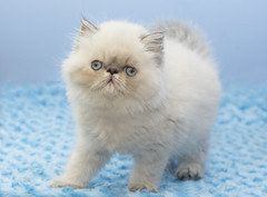 (Claire Jaggers Photography) Tags: cat persian himalayan