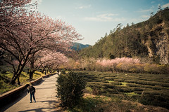20160306-DSC_6043 (Kay's...) Tags: cherryblossom sakura   wuling wulingfarm