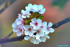 Ciliegio in fiore (ermy70) Tags: primavera piemonte april aprile cuneo avril ciliegio langa ciliege provinciadicuneo saliceto provinciagranda flowerwatcher altalanga