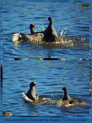 Common Gallinules fighting - (Explore 2016-03-26) (NancySmith133) Tags: commongallinule lakeapopkanorthshorewildlifedrive centralfloridausa interestingness inexplore