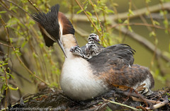 Great Crested Grebe Family (Alastair Marsh Photography) Tags: baby bird birds animal animals nest wildlife yorkshire egg chick eggs chicks babybird britishwildlife grebe humbug nesting babybirds greatcrestedgrebe grebes britishbirds britishbird greatcrestedgrebes grebechick greatcrestedgrebechick greatcrestedgrebechicks britishanimals greatcrestedgrebenest yorkshirewildlife grebechicks britishanimal humbugchick