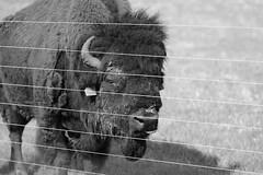 Buffalo, Fermilab. 3 (EOS) (Mega-Magpie) Tags: bw usa white black eye america canon fence eos mono illinois buffalo dupage il batavia kane fermilab winfield bison 60d