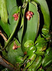 Pleurothallis cyanea species orchid, acquired 8-14, my 2nd bloom  4-16 (nolehace) Tags: pleurothallis cyanea species orchid 416 spring nolehace flower bloom plant fz1000 sanfrancisco