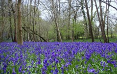 """Sea Of Bluebells • <a style=""""font-size:0.8em;"""" href=""""http://www.flickr.com/photos/40693415@N05/26031724103/"""" target=""""_blank"""">View on Flickr</a>"""