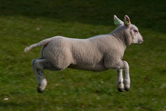 Airborn lamb (PaulHoo) Tags: nature animal born jump nikon sheep young lamb polder airborn lightroom 2016 waverveen botshol d700 grootmijdrecht