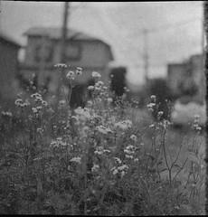 0660 (nori 4_4) Tags: flower 11 d76 expiredfilm shanghaigp3 flexaretii