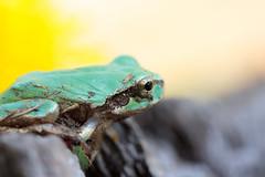 Tree frog  (hiroshi_arai) Tags: macro green nature japan canon frog treefrog  macrolens    60d