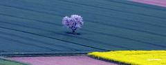 """""""Le cerisier"""" (clairetresse) Tags: france tree de la earth nord plaine bl colza isre bivre"""