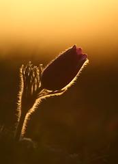 Pasque flower (Mike Mckenzie8) Tags: uk morning wild sun flower macro grass canon botanical spring bokeh wildlife meadow petal british rare ranunculaceae pulsatilla flant