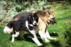 Play Day (Karen McQuilkin) Tags: friends dogs playday karenmcquilkin